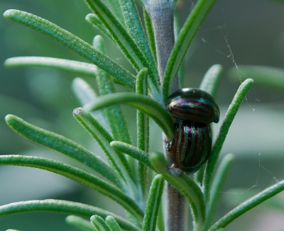 Nature picture: Chrysolina americana / Rozemarijngoudhaantje / Rosemary Beetle