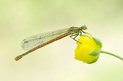 Nature picture: Pyrrhosoma nymphula / Vuurjuffer / Large Red Damselfly