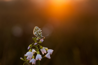 Anthocharis cardamines / Oranjetip / Orange Tip