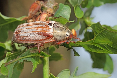 Nature picture: Melolontha melolontha / Gewone Meikever / Common Cockchafer