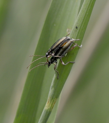 Nature picture: Donacia sp. / Rietkever sp. / Reed Beetle sp.