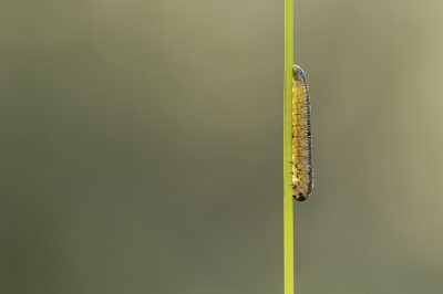 Nature picture: Tenthredinidae sp. / Bladwesp sp. / Sawfly sp.