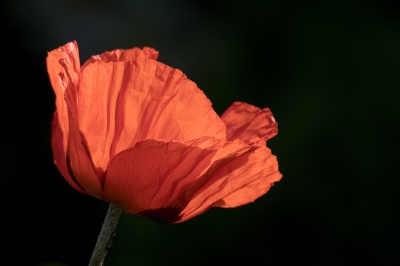 Nature picture: Papaver rhoeas / Grote Klaproos / Common Poppy