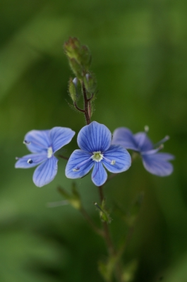 Nature picture: Veronica chamaedrys / Gewone Ereprijs / Germander Speedwell