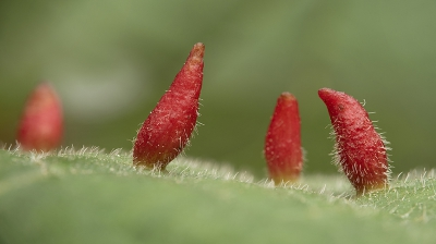 Nature picture: Eriophyes tiliae / Lindehoorntjesmijt / Lime Nail Gall Mite