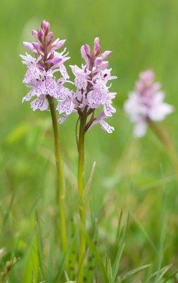 Nature picture: Dactylorhiza maculata subsp. maculata / Gevlekte Orchis / Heath Spotted-orchid