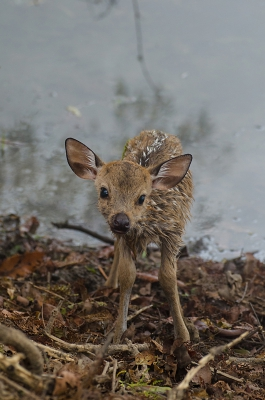 Nature picture: Axis axis / Axishert / Spotted Deer