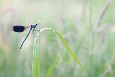 Nature picture: Calopteryx splendens / Weidebeekjuffer / Banded Demoiselle