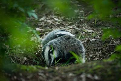 Nature picture: Meles meles / Das / Badger