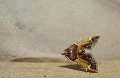 Nature picture: Pyralis farinalis / Grote Meelmot / Meal Moth