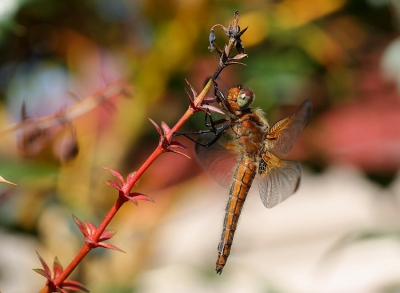 Nature picture: Libellula fulva / Bruine Korenbout / Scarce Chaser