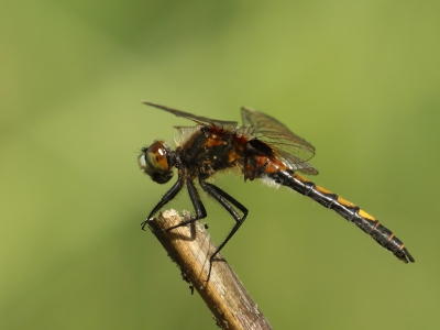 Nature picture: Leucorrhinia pectoralis / Gevlekte Witsnuitlibel / Large white-faced Darter