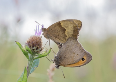 Nature picture: Maniola jurtina / Bruin Zandoogje / Meadow Brown