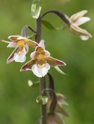 Nature picture: Epipactis palustris / Moeraswespenorchis / Marsh Helleborine