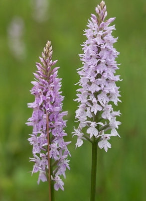Nature picture: Dactylorhiza fuchsii / Bosorchis / Common Spotted-orchid