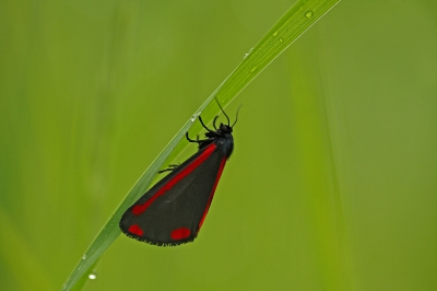 Nature picture: Tyria jacobaeae / Sint-jacobsvlinder / The Cinnabar
