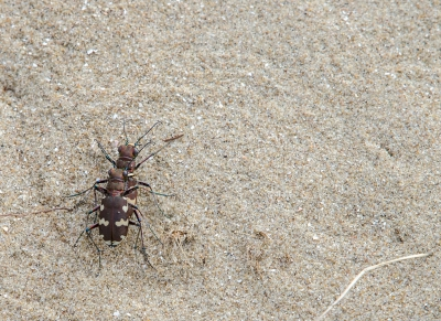 Nature picture: Cicindela hybrida / Basterdzandloopkever / Northern Dune Tiger Beetle