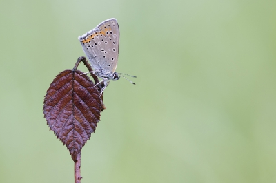 Nature picture: Lycaena hippothoe / Rode Vuurvlinder / Purple-edged Copper