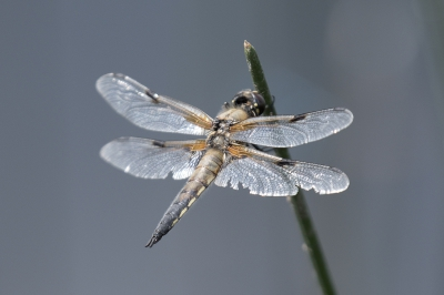 Nature picture: Libellula quadrimaculata / Viervlek / Four-spotted chaser