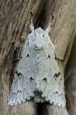 Nature picture: Acronicta leporina / Schaapje / The Miller