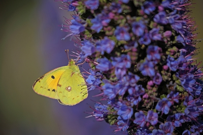 Nature picture: Colias croceus / Oranje Luzernevlinder / Clouded Yellow