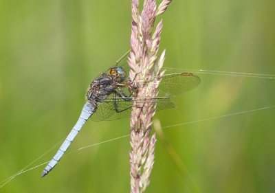 Nature picture: Orthetrum coerulescens / Beekoeverlibel / Keeled Skimmer