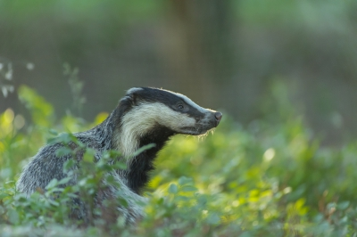 Nature picture: 3. Meles meles / Das / Badger