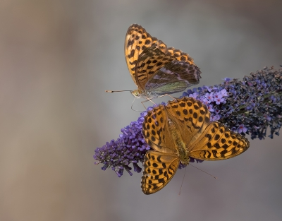 Nature picture: 4. Argynnis paphia / Keizersmantel / Silver-washed Fritillary