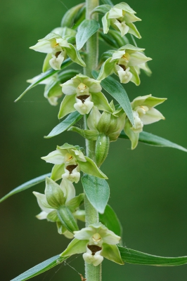 Nature picture: 1. Brede Wespenorchis