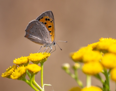 Nature picture: 5. Lycaena phlaeas / Kleine Vuurvlinder / Small Copper