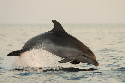 Tursiops truncatus / Tuimelaar / Bottlenose Dolphin