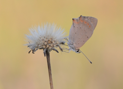 Nature picture: 4. Lycaena phlaeas / Kleine Vuurvlinder / Small Copper