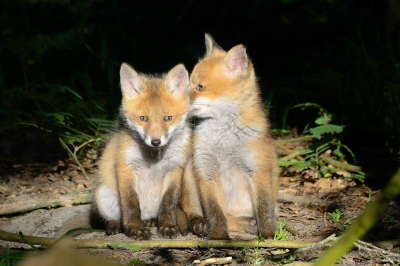 Nature picture: 3. Vulpes vulpes / Vos / Red Fox