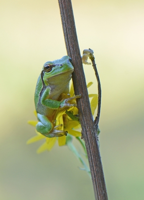 Nature picture: 2. Hyla arborea / Europese Boomkikker / European Tree Frog