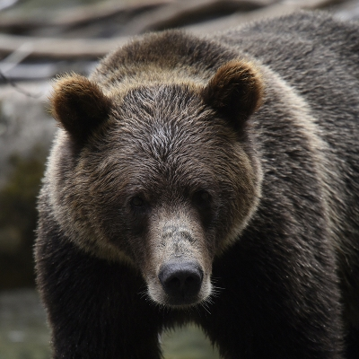 Nature picture: 5. Ursus arctos horribilis / Grizzlybeer / Grizzly