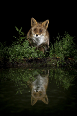Nature picture: 5. Vulpes vulpes / Vos / Red Fox
