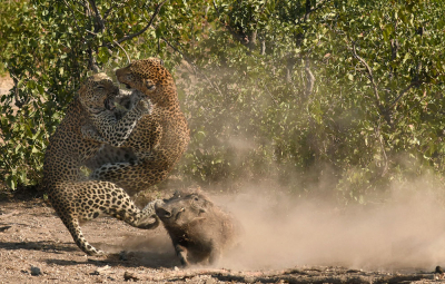 Nature picture: 1. Panthera pardus / Luipaard / Leopard