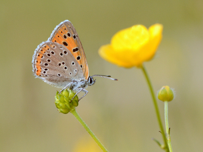 Nature picture: 5. Lycaena hippothoe / Rode Vuurvlinder / Purple-edged Copper