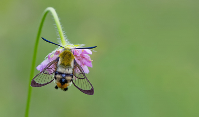Hemaris tityus / Hommelvlinder / Narrow-bordered Bee Hawk-moth