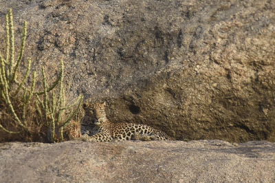 Nature picture: 5. Panthera pardus fusca / Indische Panter / Indian Leopard