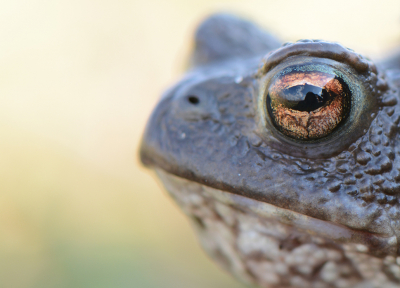 Nature picture: 3. Bufo bufo / Gewone Pad / Common Toad
