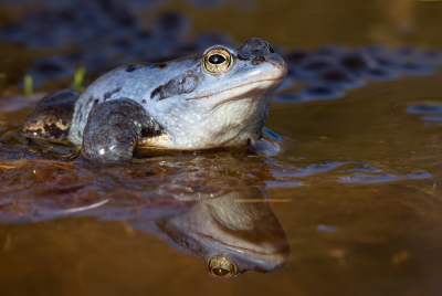 Nature picture: 4. Rana arvalis / Heikikker / Moor Frog