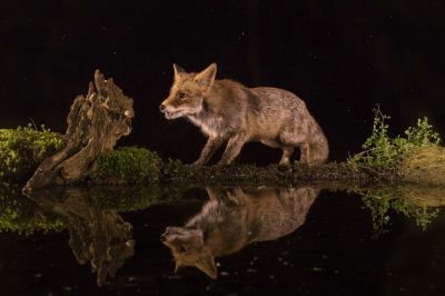 Nature picture: 1. Vulpes vulpes / Vos / Red Fox