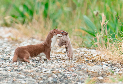 Nature picture: 2. Mustela nivalis / Wezel / Weasel