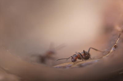 Nature picture: 3. Formica rufa / Behaarde Rode Bosmier / Red Wood Ant