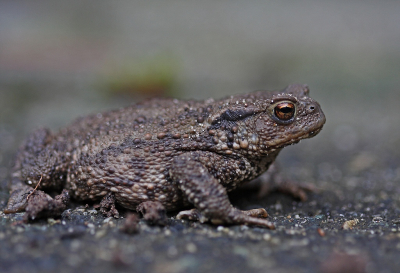 Nature picture: 5. Bufo bufo / Gewone Pad / Common Toad