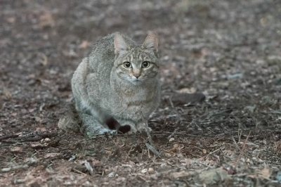 Nature picture: 2. Felis silvestris cafra / Zuid-Afrikaanse Wilde Kat / Southern African Wildcat