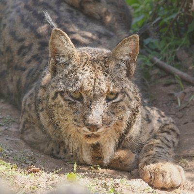 Nature picture: 2. Lynx pardinus / Pardellynx / Iberian Lynx
