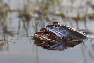 Nature picture: 3. Rana arvalis / Heikikker / Moor Frog