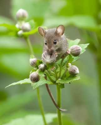Nature picture: 3. Mus musculus / Huismuis / House Mouse